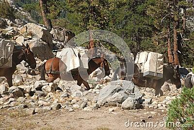 High Sierra mule train in the wilderness