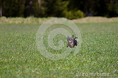 High Speed Dog