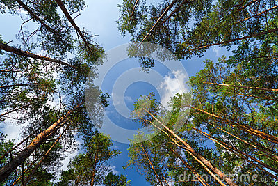 High trees in the forest