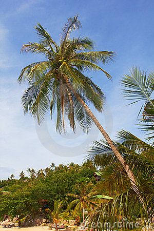 High tropical coconut palm on sunny beach