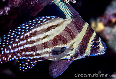 Striped drum fish topic, very