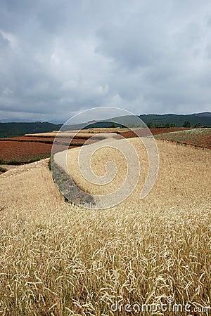 Highland barley farmland
