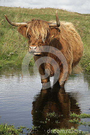 Free Highland Cattle Royalty Free Stock Image - 35434376