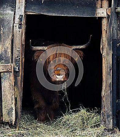 Free Highland Cattle. Stock Photos - 86553253