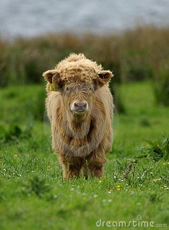 Free Highland Cattle Calf Royalty Free Stock Photos - 48238