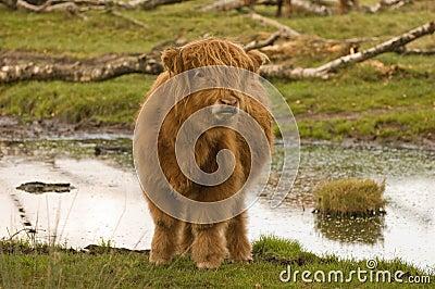 Highland cattle calf in Imbosch NL