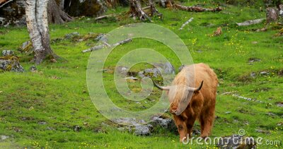 Highland Cattle Cows Graze On A Summer Pasture. Scottish Cattle Breed Walking In Meadow In Summer Day stock video footage
