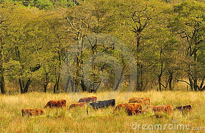 Grazing Highland cattle  (Kyloes)