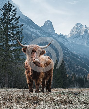 Free Highland Cattle In Front Of Huge Peaks Stock Photos - 124505193