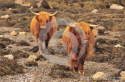 Highland cattle, shoreline, Scotland