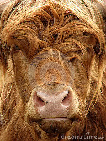 Free Highland Cow Royalty Free Stock Photography - 1085877