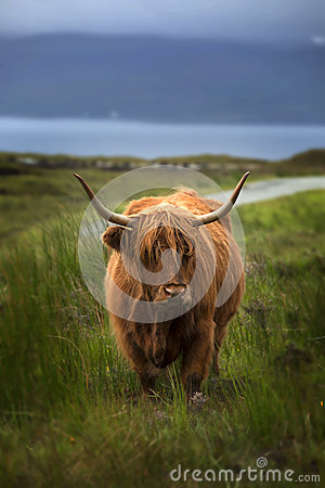 Free Highland Cow Royalty Free Stock Images - 64503469