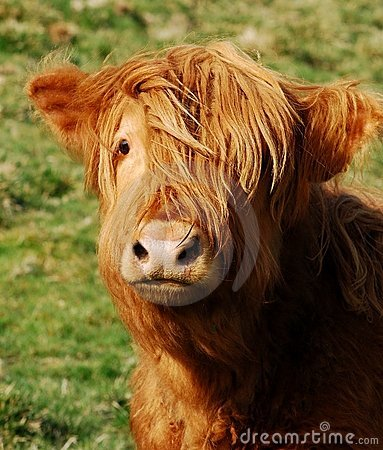 Free Highland Cow Stock Images - 9686574
