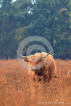 Hairy highland cow lifestock veluwe