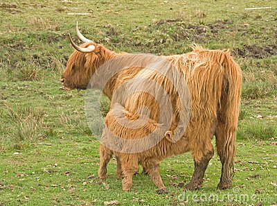 Highland cow with calf at foot.
