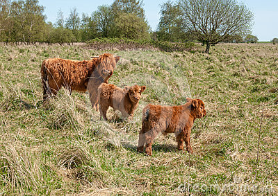 Highland cow with her two calves