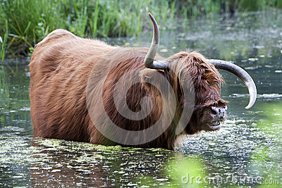 Highland cow with strange horns