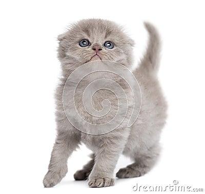 Highland fold kitten, isolated
