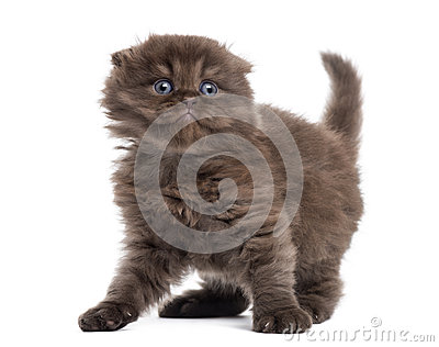 Highland fold kitten looking fearful, isolated