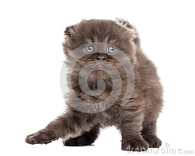 Highland fold kitten playing, standing up, isolated