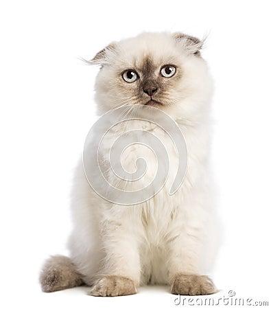 Highland fold kitten sitting