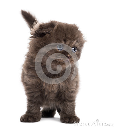 Highland fold kitten standing, facing, isolated