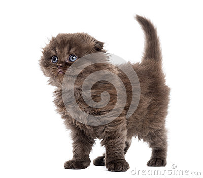 Highland fold kitten standing, looking upwards, isolated