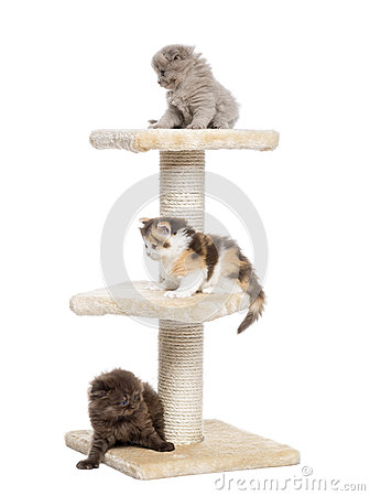 Highland fold or straight kittens playing on a cat tree