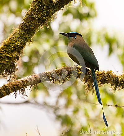 The Highland Motmot