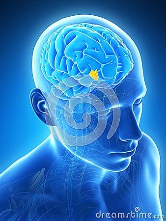 Highlighted hypothalamus