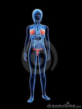 Highlighted mammary glands and uterus