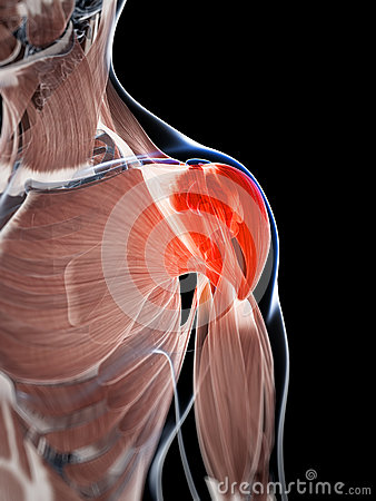 Highlighted shoulder musculature