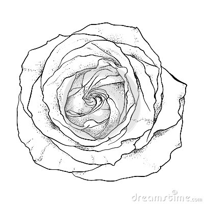 Highly detailed hand drawn rose