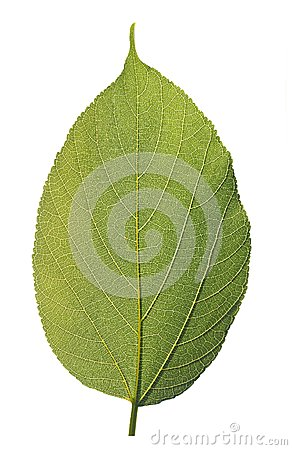 Highly detailed macro photo of healthy green leaf