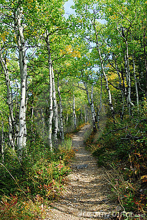 Hiking trail in aspen forest