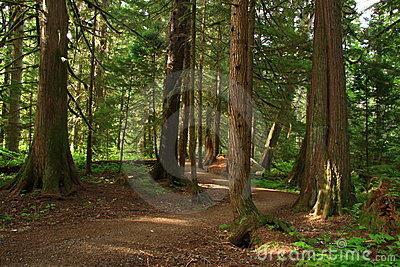 Hiking trail through cedars