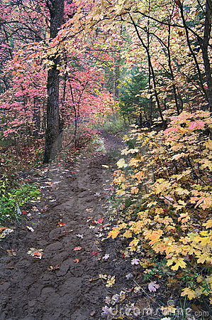 Hiking trail leads through canopy of Maple trees in fall foliage