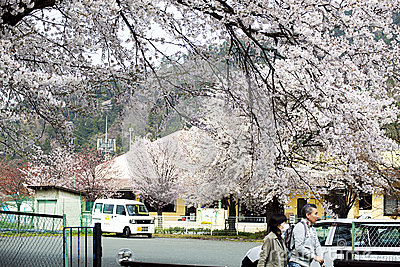 Hikone Castle cherry Editorial Stock Image