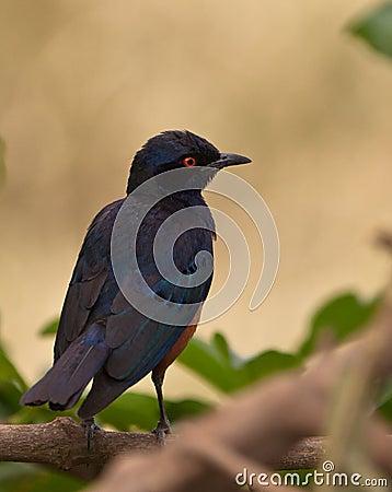 The Hildebrandt´s Starling
