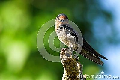 Hill Swallow (Hirundo tahitica) series IX