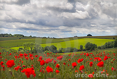 Hills in with field of poppies near Leafield, Cots