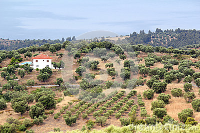 Hills with olive trees landscape