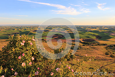 Hills of Palouse with Wild Roses