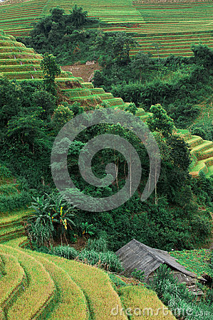 Hills of rice terraced fields