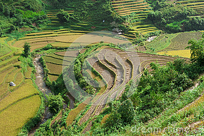 Hills of rice terraces after harvesting