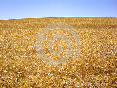 Hillside of Golden Wheat