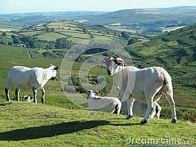 Hilltop sheep