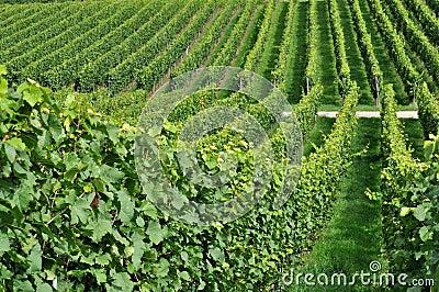 Hilly vineyard #7, baden