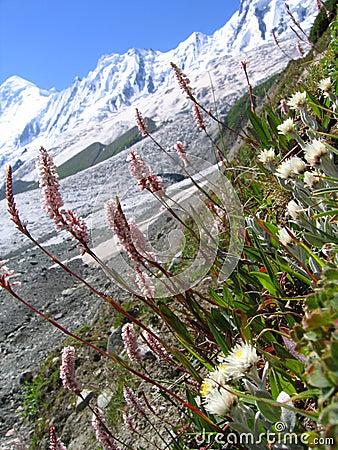 Himalaya flower