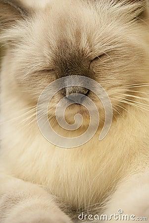 Free Himalayan Cat Royalty Free Stock Photography - 16916717